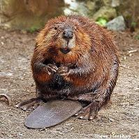 beaver--bvr1