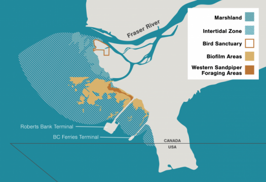 This map shows the location of Roberts Bank and the existing Deltaport terminal in the Fraser River delta. It also highlights the adjacent swath of mud and biofilm that may be affected. Western sandpipers that land at Roberts Bank feed on biofilm and prefer to stay within about 300 meters of the shore. Illustration by Mark Garrison