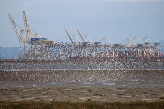 In late April, flocks of several hundred thousand migrating western sandpipers a day refuel on the mudflats at British Columbia's Roberts Bank. The future of the birds may be threatened by the Vancouver Fraser Port Authority's Terminal 2 project, a proposed expansion of the shipping terminal just offshore. Photo by Matthias Breiter/Minden Pictures